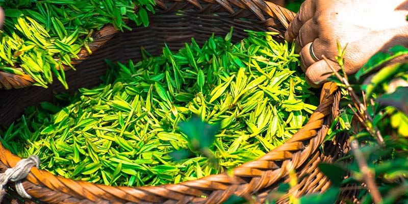 Basket of loose green tea leaves